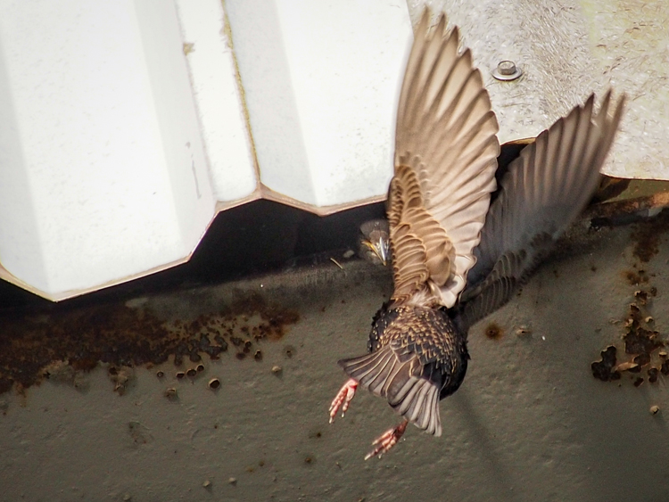 Starling Feeding Nestling - ©ingridtaylar
