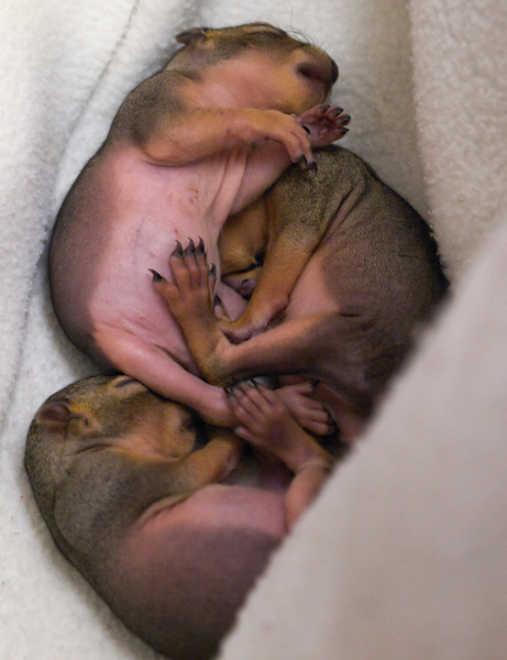 Rescued Orphaned Fox Squirrels - ©ingridtaylar