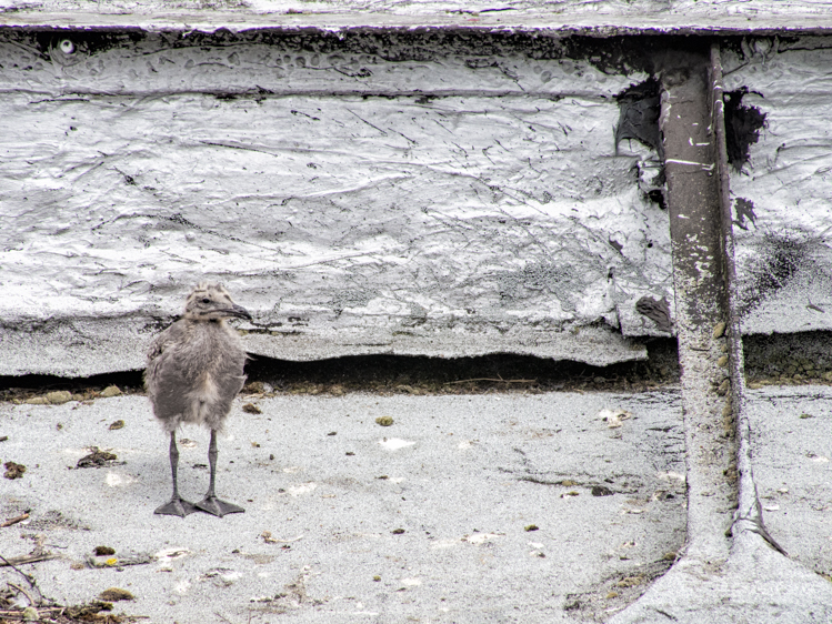 Gull chick on Seattle Pioneer Square rooftop