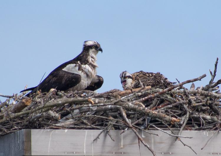 Osprey Mama + Chick - ©ingridtaylar