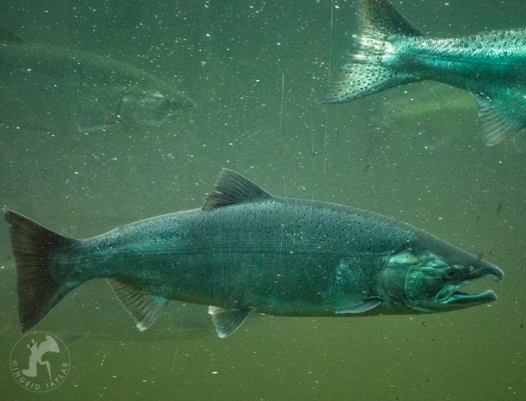 Chinook Salmon at Ballard Locks