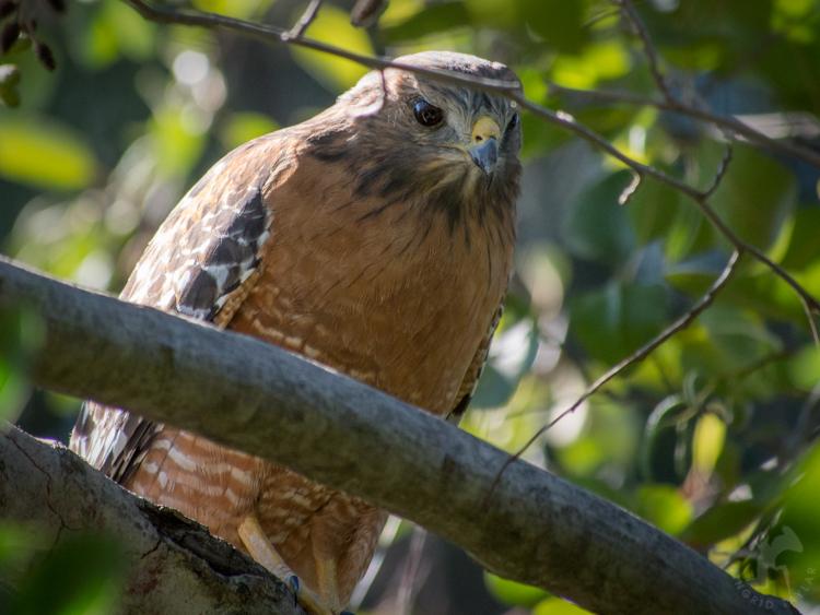 Furtive Red-Shouldered Hawk - ©ingridtaylar