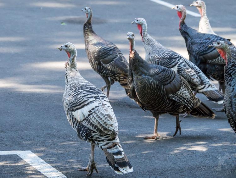 Wild Turkey Flock - ©ingridtaylar
