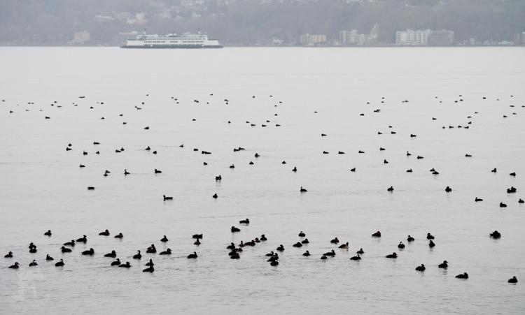 Wintering ducks on Puget Sound