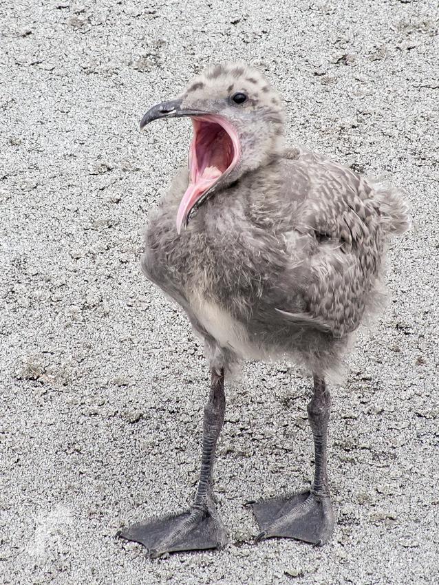 Baby Gull Yawn