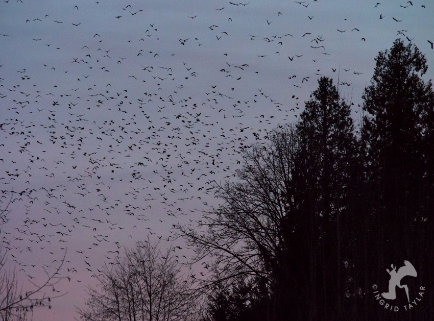 20,000 Crows