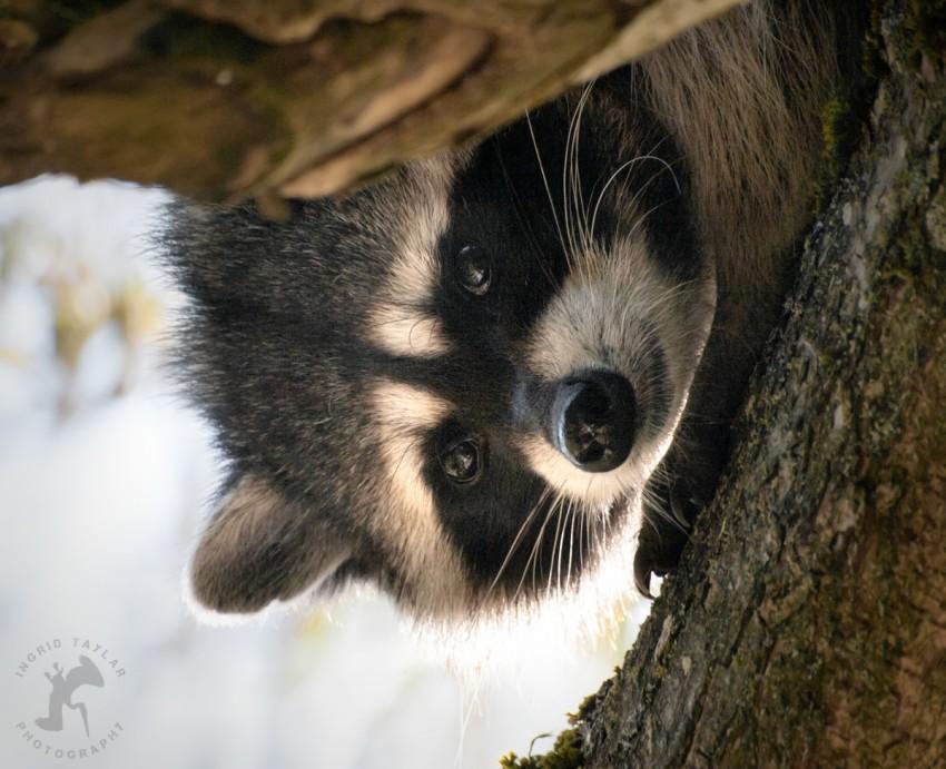 WB-Raccoon Face