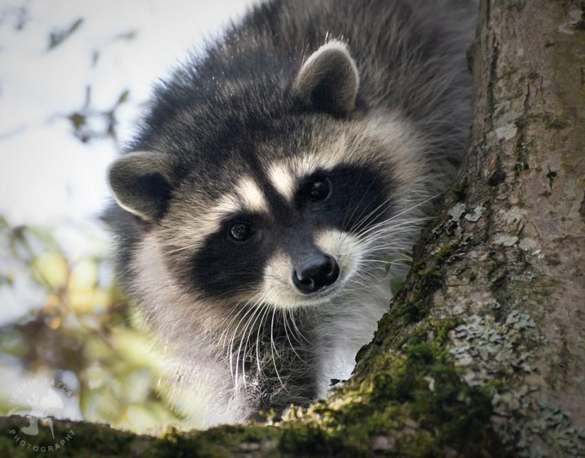 WB-Raccoon Family Tree 3