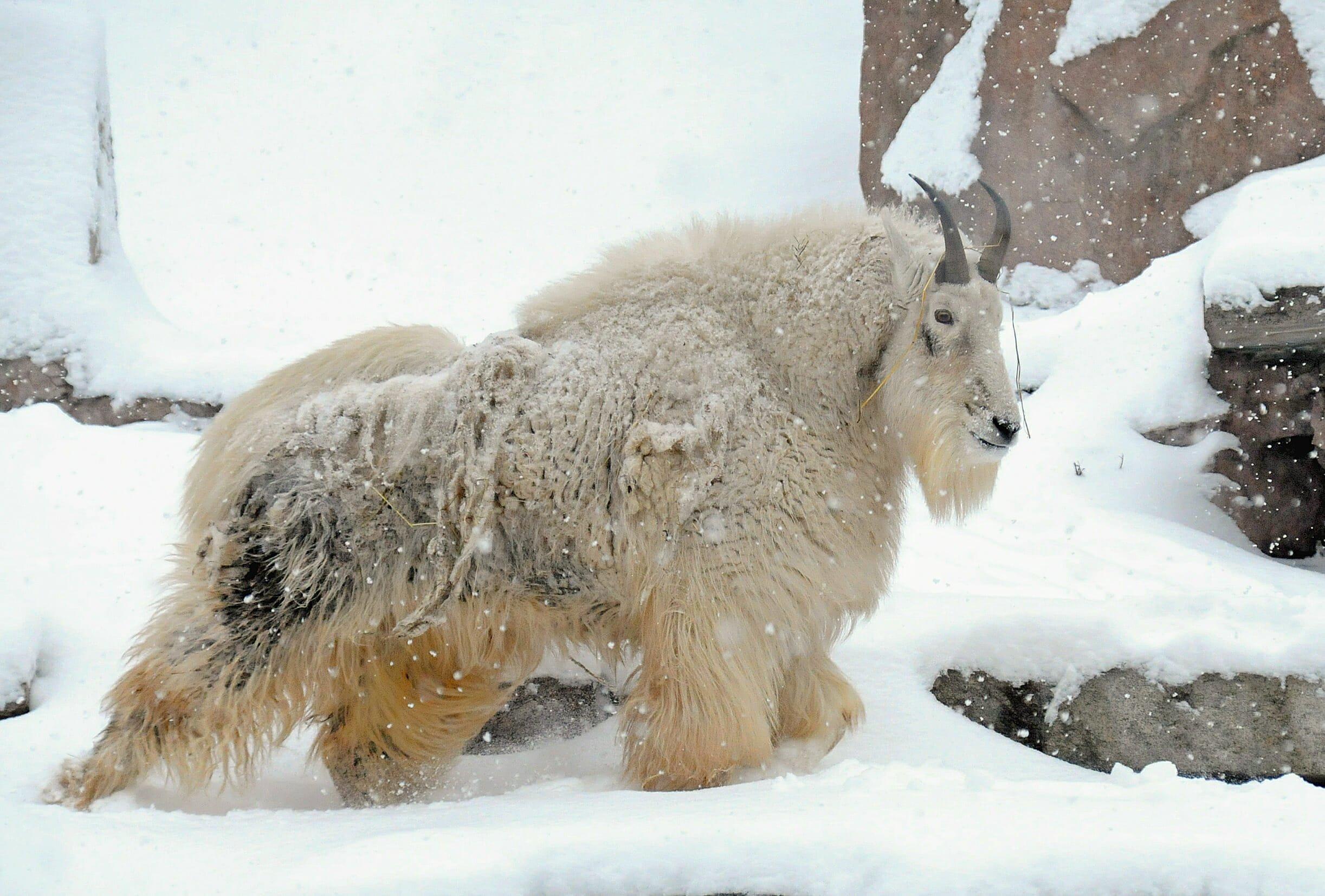 https://i0.wp.com/www.thewildlifediaries.com/wp-content/uploads/2010/01/mountain-goat.jpg