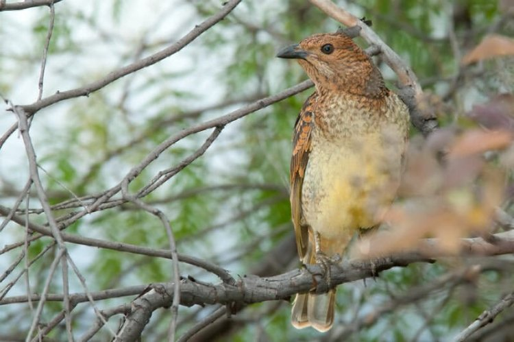Birds and frogs of Bowra Sanctuary