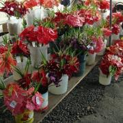 anthurium-flowers