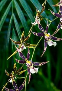 spider-orchid