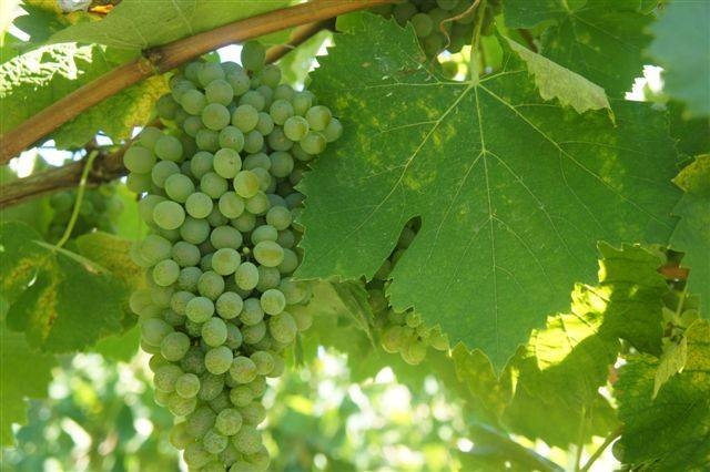 There is a growing buzz about Falanghina wine