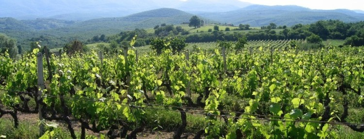 The Naoussa vineyard of Tsantali, one of Greece's most famous wineries