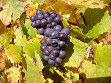 PInot Noir is one of the cool climate grapes that do magic in Rio Negro