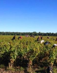 also bordeaux wine harvest and vintage report buying guide rh thewinecellarinsider