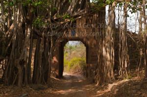 A banyan Tree, Ranthambore