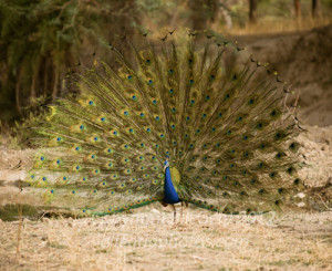 A peacock displaying, Ranthambore Reserve
