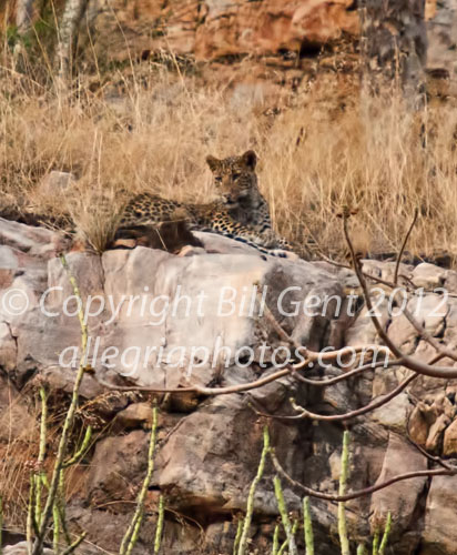 A leopard on the rock, Ranthambore, India
