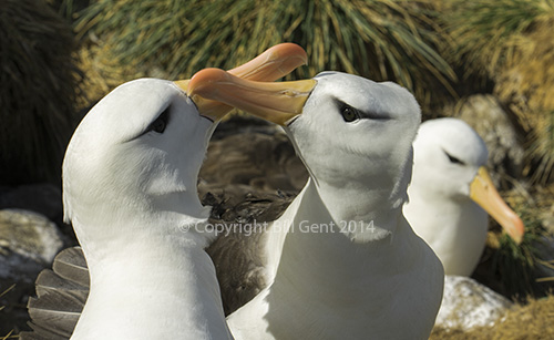Albatross greeting each other by clicking beaks