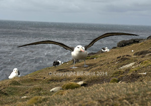 A black-browed albatross lands on the cliff tops at The Rookery, Saunders Island