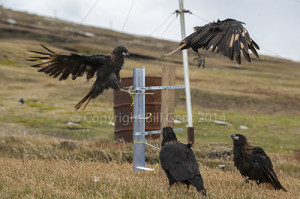 Field experiment using striated caracara at the Neck, Saunders Island, Falkland Islands