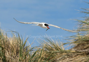 A South American tern carrying a fish, Sea Lion Island