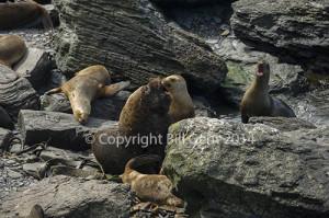 A male Southern Sea Lion and his harem on Sea Lion Island