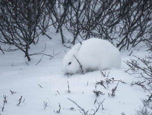 An Arctic hare in the snow