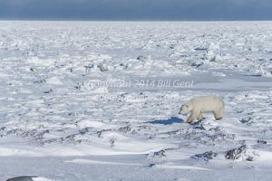 Polar Bear walking along edge of Hudson Bay, Canada