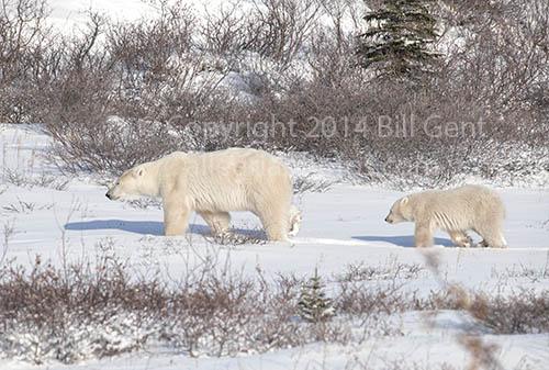 Mother polar bear and cub near Churchill