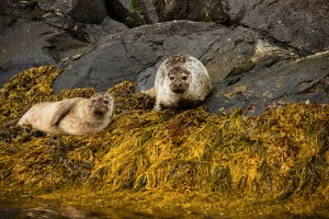 A pair of seals on the shore of the fjord near Flåm