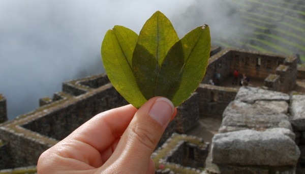 The Health and Nutrition Benefits of the Coca Leaf