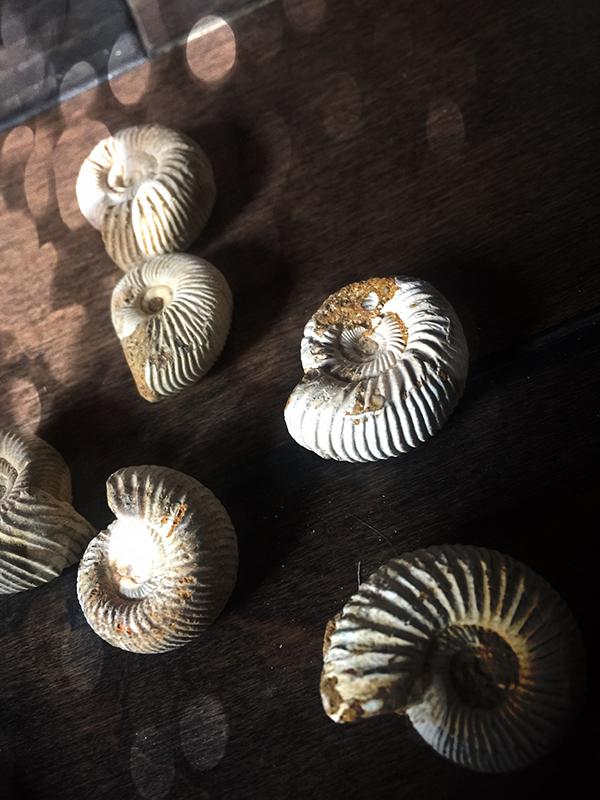 Jurassic Snail Fossil