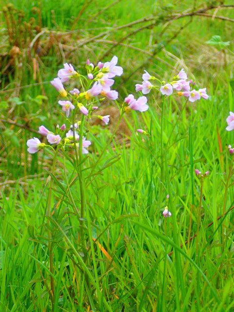 ladysock cuckooflower