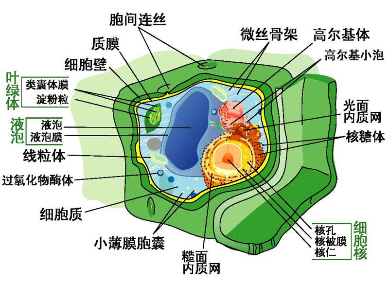 Plant Cell Diagram Simple