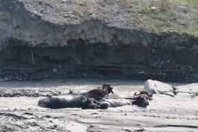 Wellness für Wasserbüffel