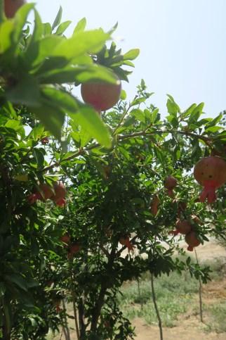 Granatäpfel in einer Oase