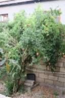 Granatapfelbaum im Garten