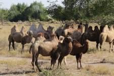 Eine Herde Kamele kreuzt unseren Weg