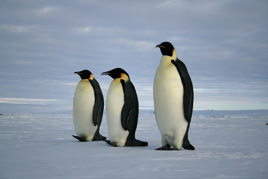 Three+penguins+walking+along+the+ice.