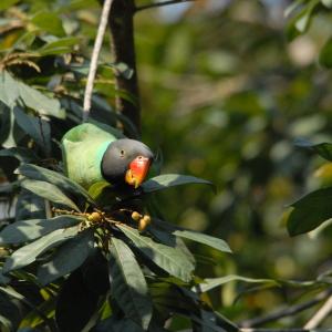 Slaty-headed Parakeet