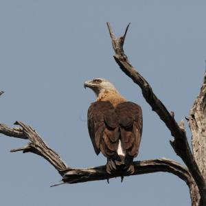 Pallas's Fish Eagle