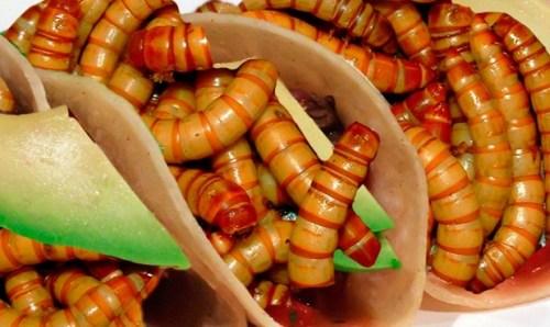Motacu bolivian edible worms from Mapiri, La Paz, Bolivia (Google)