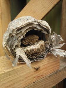 old-wasps-nest