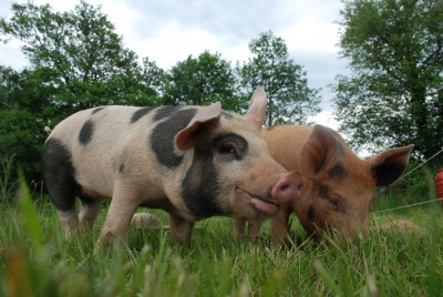 hungry pigs at the yurt farm