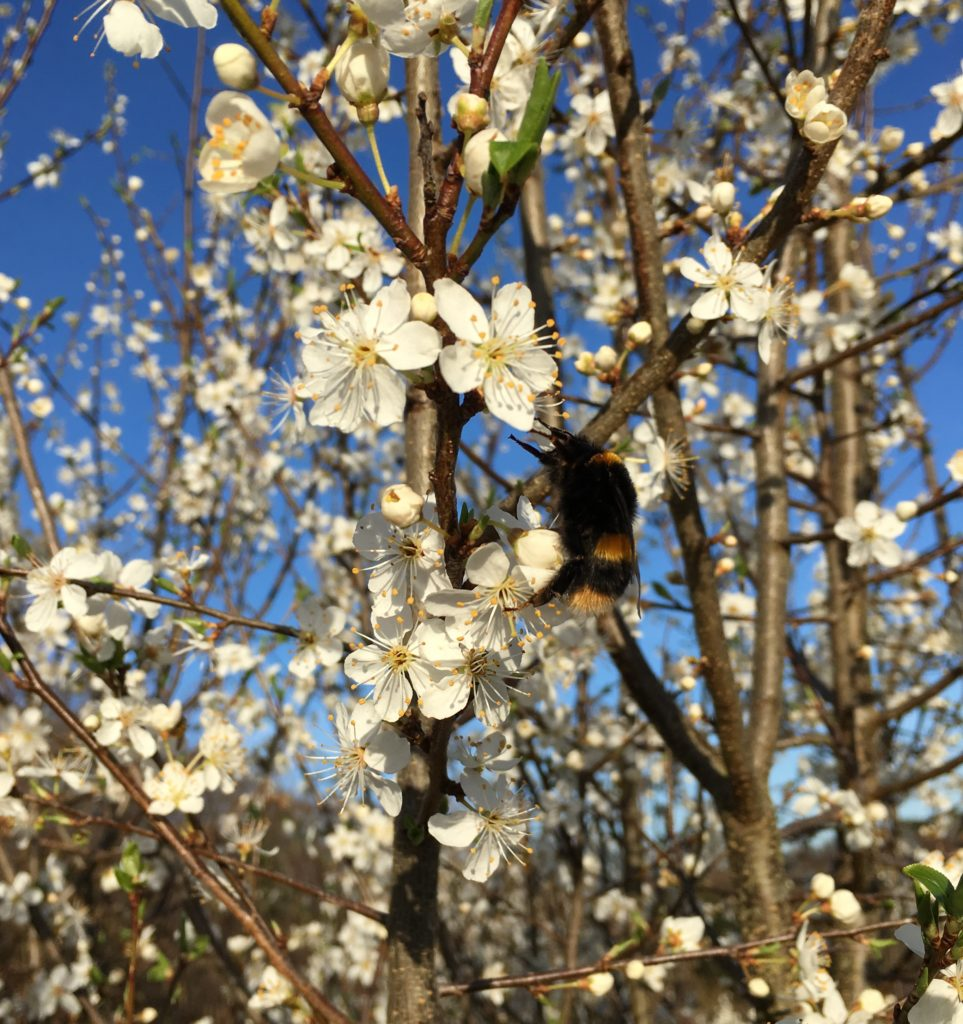 Bees in the Cherry Blossom