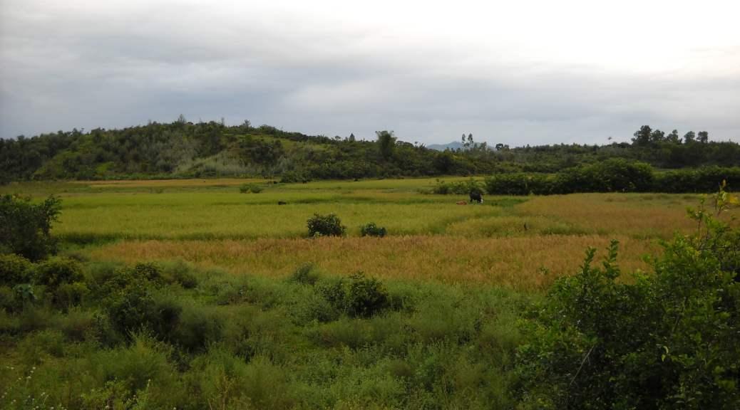 Des rizières à Madagascar
