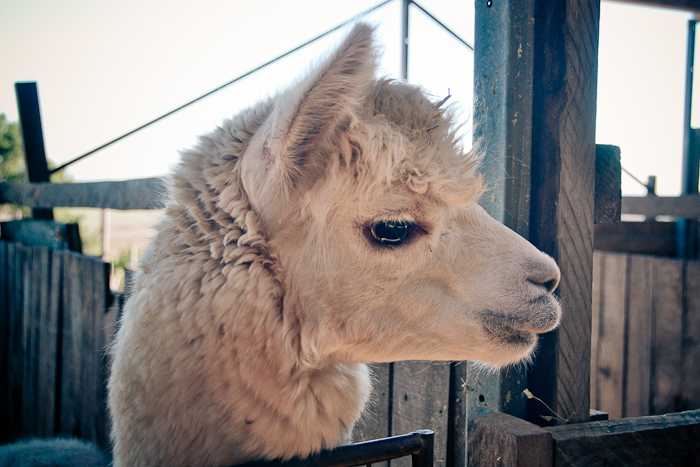 alpaca loom-10