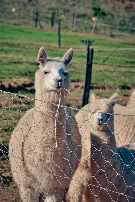 alpaca loom-12